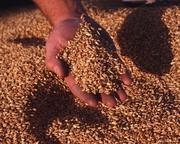 Продаю Пшеницу 3,  4,  5 класса..