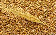 Пшеница,  4 класс