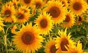 Гибриды семян f1 и средства защиты растений