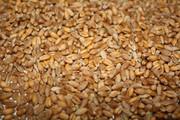 Пшеница  фуражная.