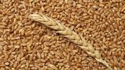 Пшеница урожай 2017 продаем FCA
