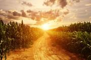 Продам фуражную кукурузу 6 000 тонн