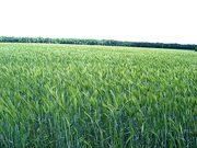 Семена озимого тритикале