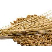 Семена ярового ячменя Вакула
