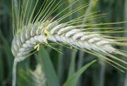 Семена озимого тритикале сорт Тихон