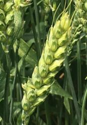 Семена озимой пшеницы сорт Зерноградка11,  Ермак,  Безостая100,  и др.